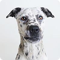 Adopt A Pet :: Precious *NEEDS FOSTER* - Wilmington, DE