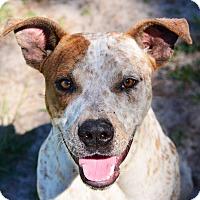 Adopt A Pet :: FRECKLES - Brooksville, FL