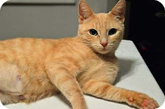 Domestic Shorthair Cat for adoption in Merrifield, Virginia - Julie