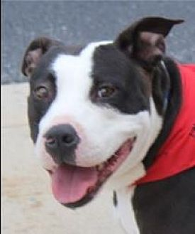 Pit Bull Terrier Mix Dog for adoption in Staunton, Virginia - Lucky Mama