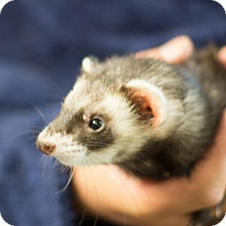 Ferret for adoption in Balch Springs, Texas - Ratatasker