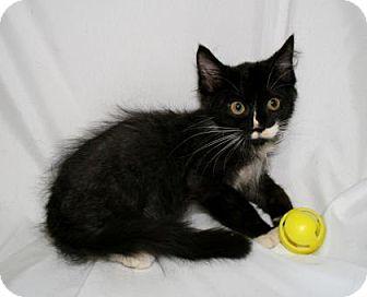 Domestic Shorthair Cat for adoption in Bradenton, Florida - Sharkbait