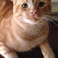Domestic Shorthair Cat for adoption in Raleigh, North Carolina - Shiloh K