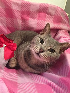 Domestic Shorthair Cat for adoption in Bryn Mawr, Pennsylvania - Gracie/ loves people, lap cat