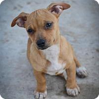 Adopt A Pet :: Ninja W - Olympia, WA