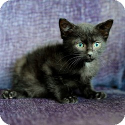 Bombay Kitten for adoption in Ft. Lauderdale, Florida - Bongo