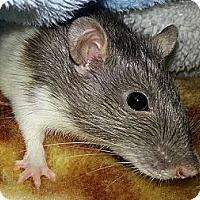 Adopt A Pet :: Shia - Lakewood, WA
