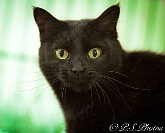 Domestic Shorthair Cat for adoption in Belton, Missouri - Black Olive