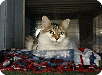 Domestic Mediumhair Cat for adoption in New Richmond,, Wisconsin - Bitsy