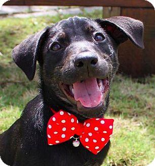 Shepherd (Unknown Type)/Terrier (Unknown Type, Medium) Mix Puppy for adoption in San Ramon, California - Coco