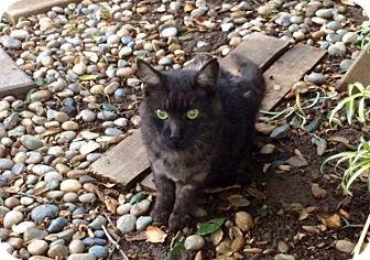 American Shorthair Cat for adoption in San Jose, California - Spike