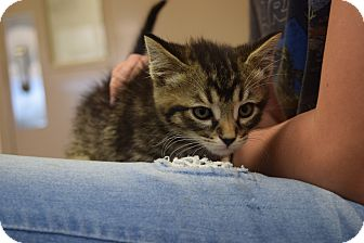 Domestic Shorthair Kitten for adoption in Bucyrus, Ohio - Gary