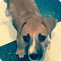 Adopt A Pet :: Lily - Sinking Spring, PA
