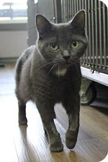 Domestic Shorthair Cat for adoption in Port Hope, Ontario - Missy