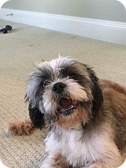 Shih Tzu Dog for adoption in Grafton, Massachusetts - Barnaby