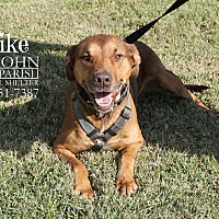 Adopt A Pet :: Mike- Already Neutered - Laplace, LA