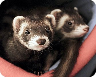 Ferret for adoption in Brandy Station, Virginia - ANDY & ABBY