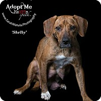 Beagle/Hound (Unknown Type) Mix Dog for adoption in New Milford, Connecticut - Shelby