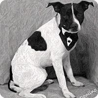 Adopt A Pet :: Domino - Dalton, GA