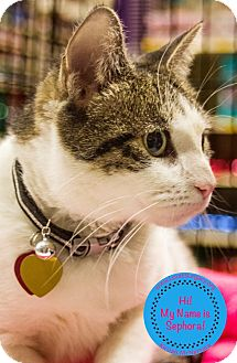 Domestic Shorthair Cat for adoption in Staten Island, New York - Sephora