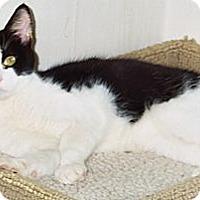 Domestic Shorthair Cat for adoption in Alamo, California - KitKat