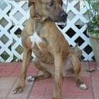 Mountain Cur/Shepherd (Unknown Type) Mix Dog for adoption in Jackson, Mississippi - Anna