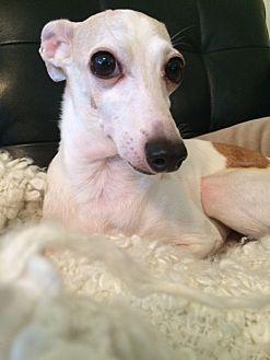 Italian Greyhound Dog for adoption in Richardson, Texas - Hunter
