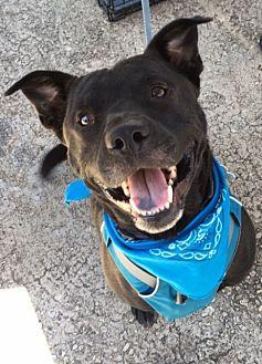American Staffordshire Terrier/Labrador Retriever Mix Dog for adoption in Stone Mountain, Georgia - Kramer