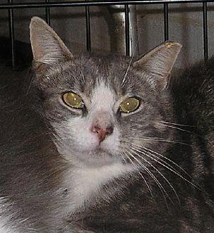 Domestic Shorthair Cat for adoption in Lovingston, Virginia - Stewart (Feral)