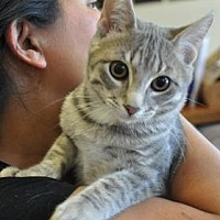 Domestic Shorthair Kitten for adoption in Pompano Beach, Florida - Baloo