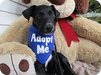 Labrador Retriever Mix Puppy for adoption in Baltimore, Maryland - Hogan