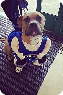 American Bulldog/Terrier (Unknown Type, Medium) Mix Dog for adoption in St Clair Shores, Michigan - Hank