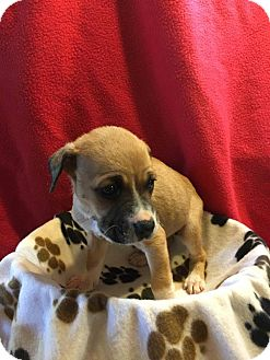 Boxer Mix Puppy for adoption in WESTMINSTER, Maryland - Cindy