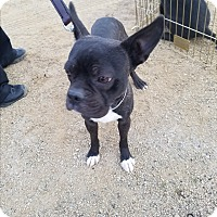 Adopt A Pet :: frenchy - Las Vegas, NV