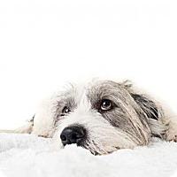 Adopt A Pet :: Ollie - Huntington Beach, CA