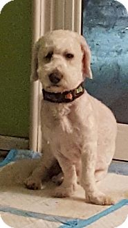 Bichon Frise/Basset Hound Mix Dog for adoption in Sherman Oaks, California - Douglas