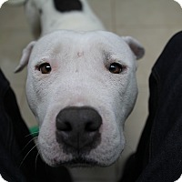 Adopt A Pet :: Hope - Eugene, OR