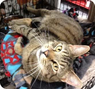 Domestic Shorthair Cat for adoption in Merrifield, Virginia - Buddy