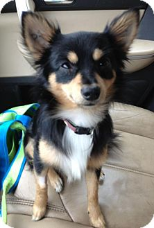 Chihuahua/Pomeranian Mix Dog for adoption in Gainesville, Florida - Berkeley