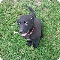 Adopt A Pet :: Chubbs - Minneapolis, MN