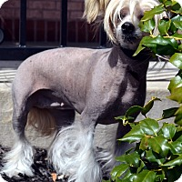 Adopt A Pet :: Piper-Adoption pending - Bridgeton, MO