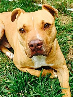 American Pit Bull Terrier/Labrador Retriever Mix Dog for adoption in Demopolis, Alabama - Casey