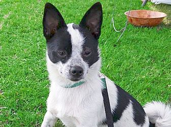 Toy Fox Terrier/Rat Terrier Mix Dog for adoption in San Francisco, California - Domino