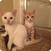 Adopt A Pet :: Chole - Lauderhill, FL