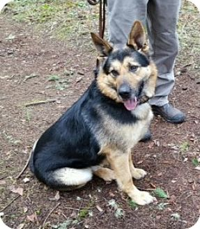 German Shepherd Dog Mix Dog for adoption in Woodinville, Washington - Bodil