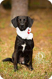 Beagle/Labrador Retriever Mix Dog for adoption in Tallahassee, Florida - Maggie