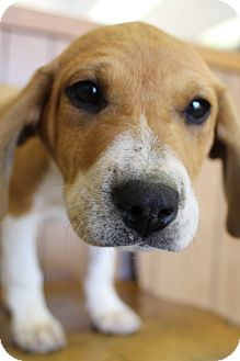 Beagle/Labrador Retriever Mix Puppy for adoption in Bedminster, New Jersey - Max