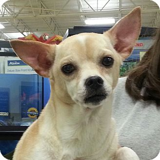 Chihuahua Mix Dog for adoption in Orlando, Florida - Lyla
