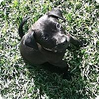 Adopt A Pet :: JEFFERSON - Torrance, CA