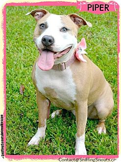 Terrier (Unknown Type, Medium)/Mastiff Mix Dog for adoption in Orlando, Florida - Piper